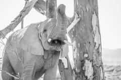 Jeune éléphant faisant le bruit Photos stock