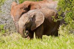Jeune éléphant mangeant l'herbe Photo stock