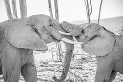 Jeune éléphant masculin avec jouer plus ancien de Taureau Photo stock