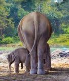 Jeune éléphant près d'éléphant de mère dans la forêt Photographie stock libre de droits