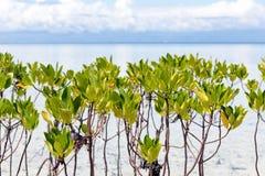 Jeune élevage d'arbres de palétuvier Photographie stock libre de droits