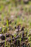 Jeune élevage d'herbe verte Photo libre de droits
