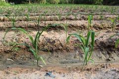 Jeune élevage d'usines de maïs Photo stock