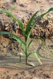 Jeune élevage d'usines de maïs Photo libre de droits