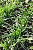 Jeune élevage de blé Photographie stock libre de droits
