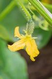 Jeune élevage de concombre Image libre de droits