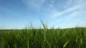 Jeune élevage de cultures vert de blé dans cultivé banque de vidéos