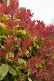 Jeune élevage de feuilles de rouge Photos libres de droits