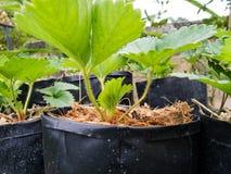 jeune élevage de fraisiers Photo stock