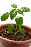 Jeune élevage de jeune plante de poivre Photo stock