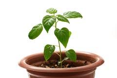 Jeune élevage de jeune plante de poivre Images libres de droits