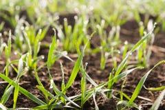 Jeune élevage de jeunes plantes de blé Photos libres de droits