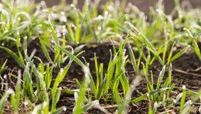 Jeune élevage de jeunes plantes de blé Photos stock