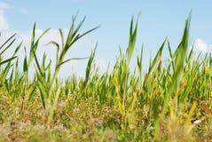 Jeune élevage de maïs Photographie stock