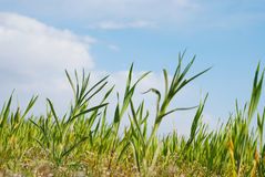 Jeune élevage de maïs Image stock