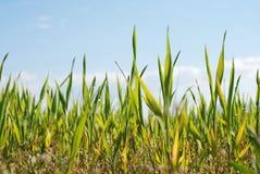 Jeune élevage de maïs Images libres de droits