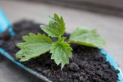 Jeune élevage de plante Photos stock
