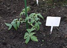 Jeune élevage de plante de tomate Images stock