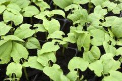 Jeune élevage de plantes de haricot Photos libres de droits