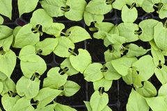 Jeune élevage de plantes de haricot Photo stock