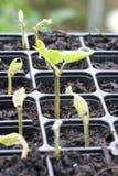 Jeune élevage de plantes de haricot Image stock