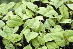 Jeune élevage de plantes de haricot Photo libre de droits