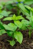 Jeune élevage de poivrons Photo stock