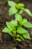 Jeune élevage de poivrons Images libres de droits