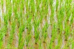 Jeune élevage de riz Photographie stock libre de droits
