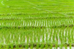 Jeune élevage de riz Image libre de droits