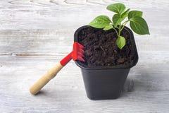Jeune élevage de tomate Image libre de droits