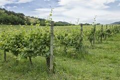 Jeune élevage de wineyard Image libre de droits