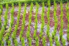 Jeune élevage frais de riz Photo libre de droits