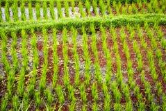 Jeune élevage frais de riz Images libres de droits