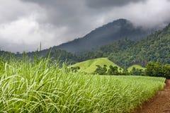 Jeune élevage sain de canne à sucre Photo libre de droits