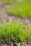 Jeune élevage vert de gras Photographie stock