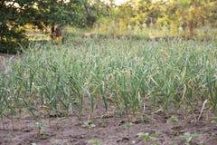 Jeune élevage vert de pousses d'ail Images libres de droits