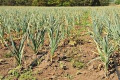 Jeune élevage vert de pousses d'ail Photographie stock