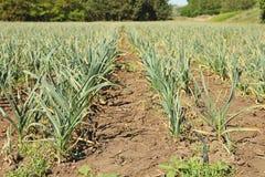 Jeune élevage vert de pousses d'ail Images stock