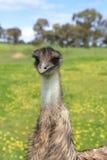 Jeune émeu dans le bushland australien Image libre de droits
