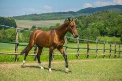 Jeune étalon brun-rougeâtre de cheval de teke d'Akhal photographie stock libre de droits