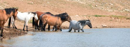 Jeune étalon rouan bleu pataugeant dans le point d'eau avec le troupeau de chevaux sauvages dans la chaîne de cheval sauvage de m Photos libres de droits
