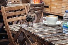 Jeune étourneau sur une table en bois avec une tasse blanche Images stock