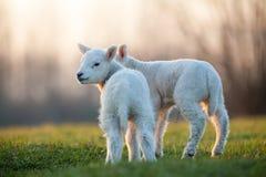 Jeune agneau Photographie stock libre de droits