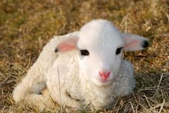 Jeune agneau photo stock