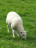 Jeune agneau blanc Photographie stock libre de droits