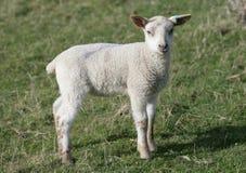 Jeune agneau dans un domaine Images stock