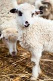 Jeune agneau mangeant l'herbe et le foin avec le troupeau Photographie stock