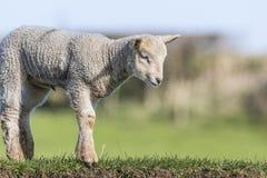 Jeune agneau sur une berge Images stock