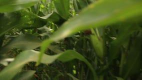 Jeune agronome à patauger par un champ de maïs banque de vidéos